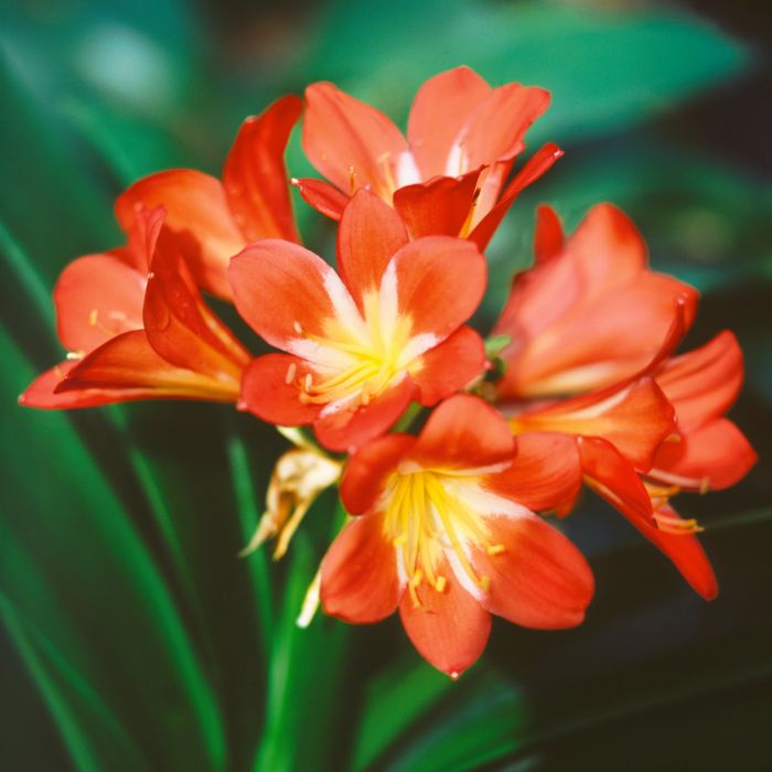 Clivia Orange  ] 174519P - Flower Power