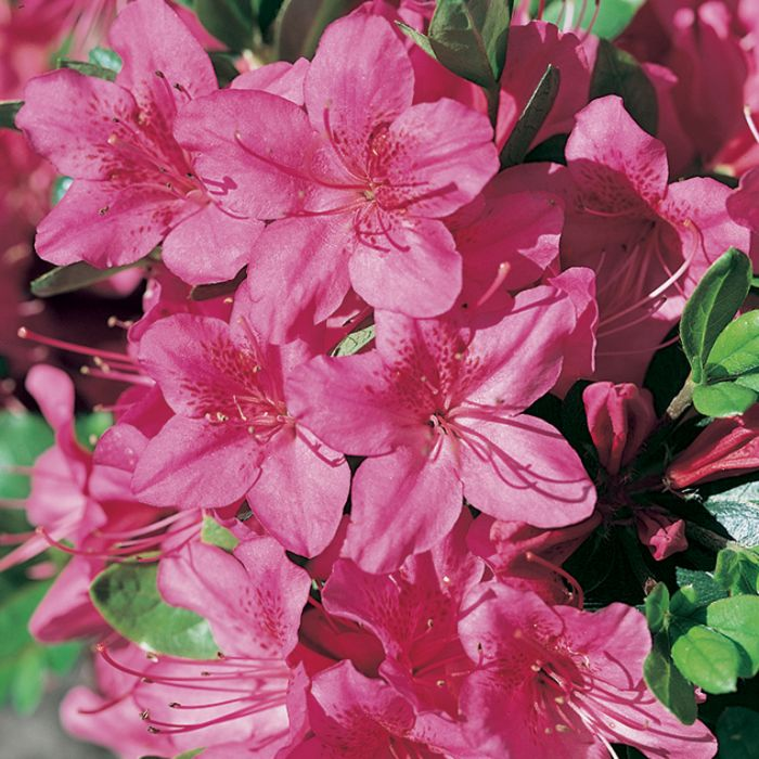 Azalea Purple Glitters  ] 174839P - Flower Power