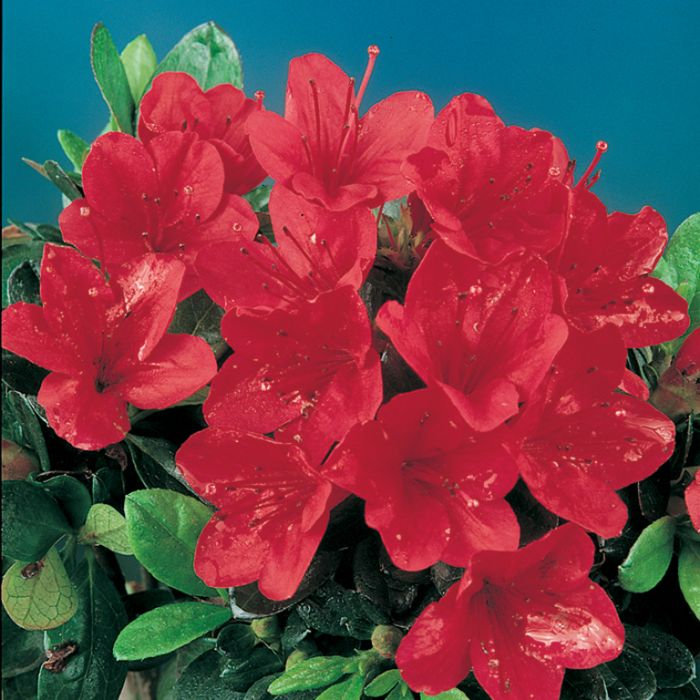 Azalea Wards Ruby  ] 174844P - Flower Power