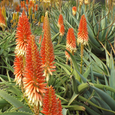 Aloe Diana  ] 175090P - Flower Power