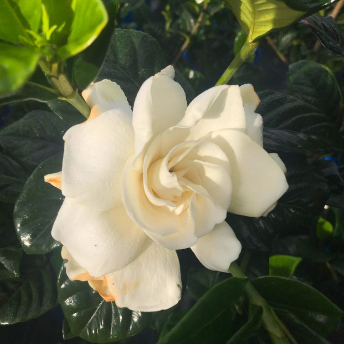Gardenia True Love  ] 176397P - Flower Power