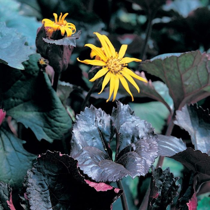 Ligularia dentata  ] 176591 - Flower Power