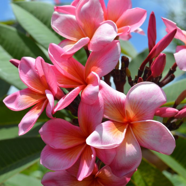 Frangipani Singapore Dwarf Pink  ] 176601 - Flower Power