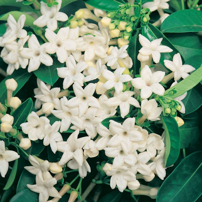 Stephanotis Floribunda  ] 177007P - Flower Power
