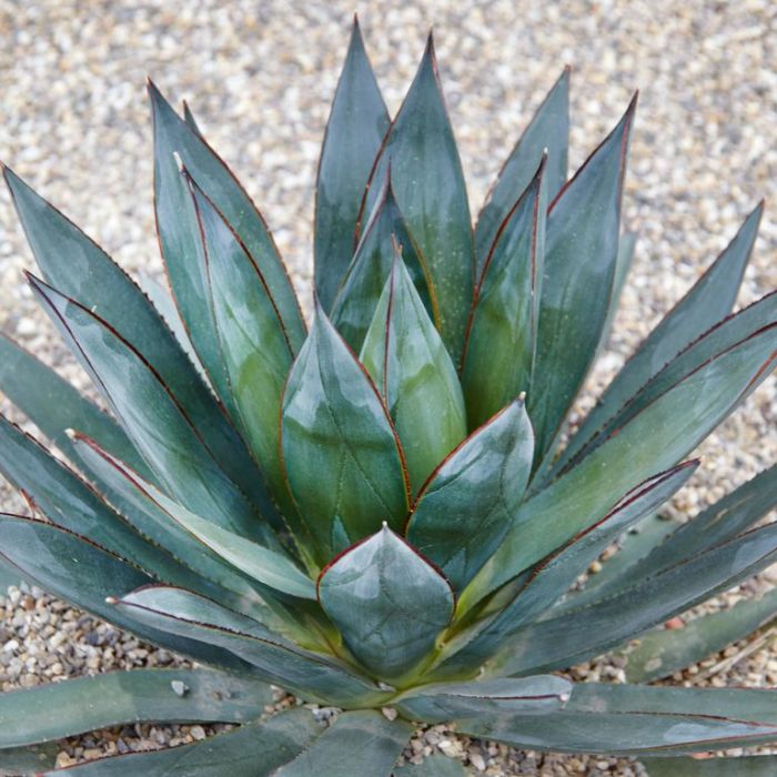 Agave Blue Glow  ] 177173 - Flower Power