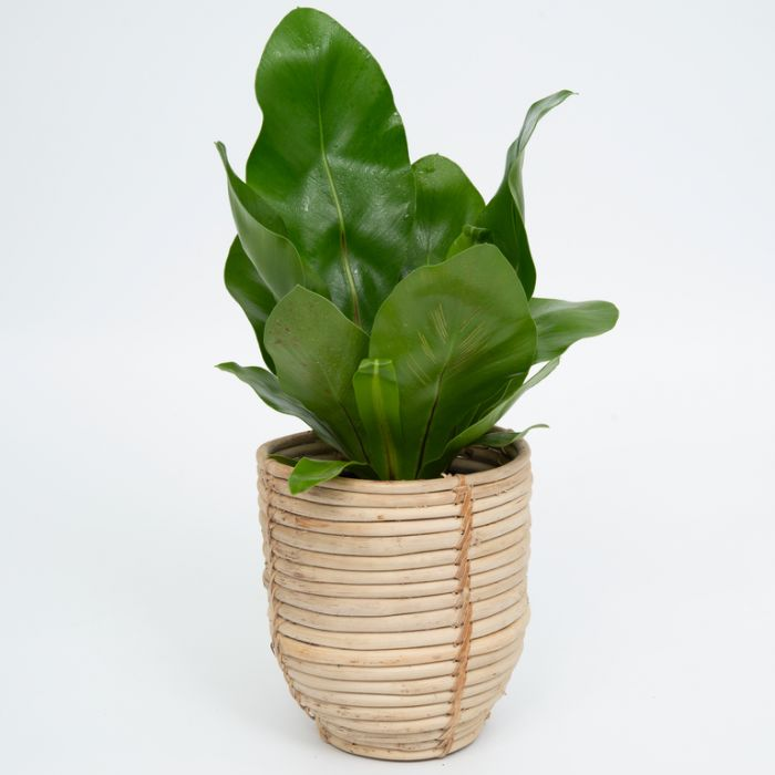 FP Collection Nile Rattan Storage Basket  ] 177871P - Flower Power