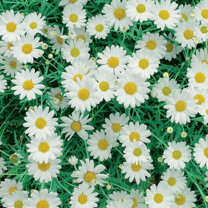 Federation Daisy White Standard  ] 178804 - Flower Power