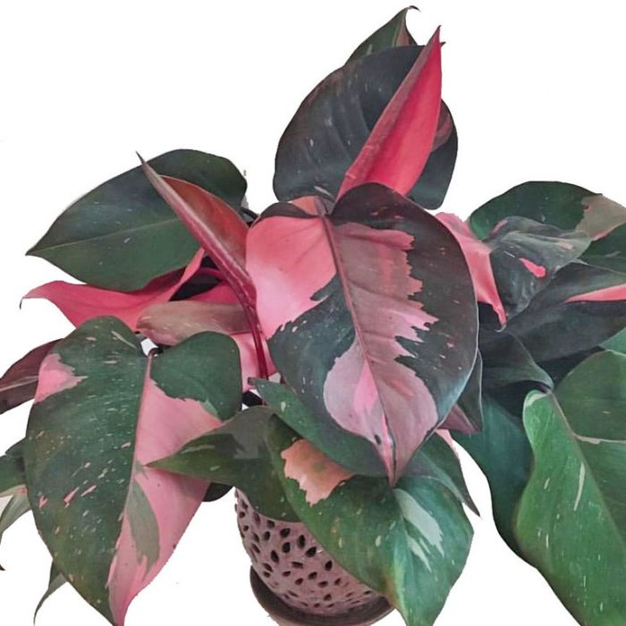 Pink Princess Philodendron  ] 179179P - Flower Power