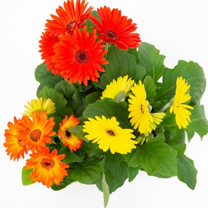 Gerbera  ] 179482P - Flower Power