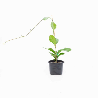 Hoya  ] 179926P - Flower Power