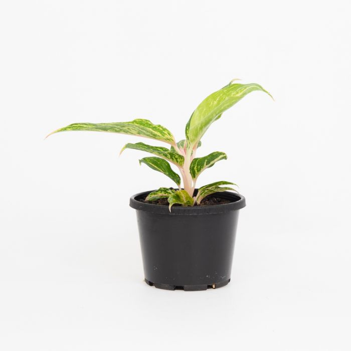 Aglaonema Red Fire  ] 180371 - Flower Power