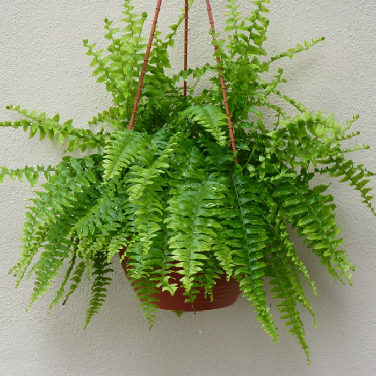 Boston Fern Hanging Basket  ] 181766 - Flower Power