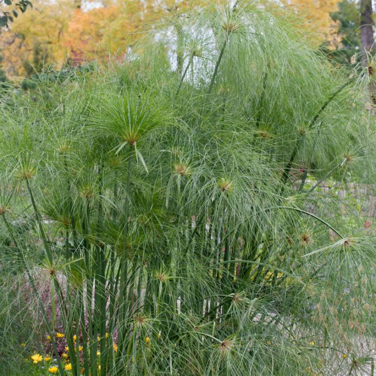 Cyperus King Tut  ] 183458P - Flower Power