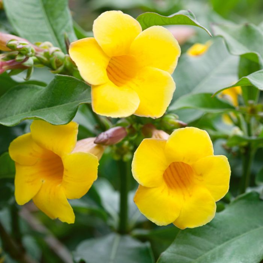 Allamanda Schottii  ] 183541 - Flower Power