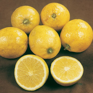 Dwarf Lemonade Lemon  ] 183938P - Flower Power