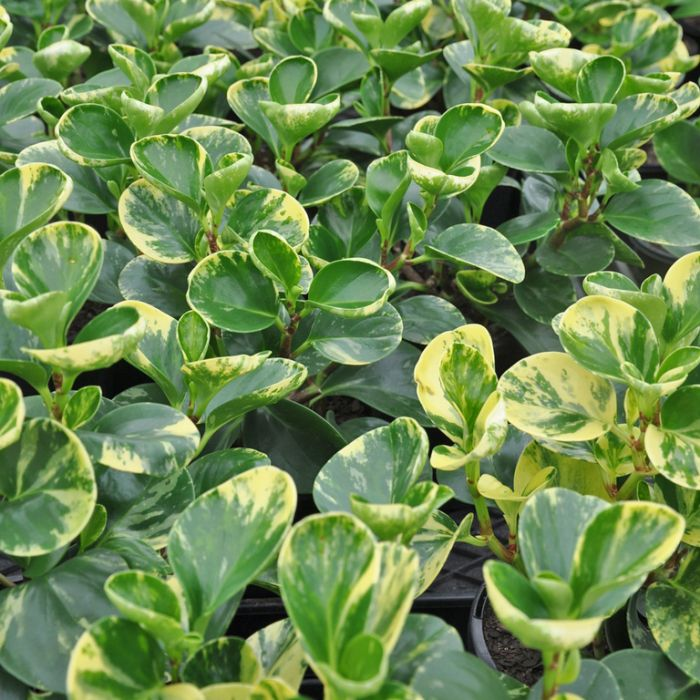 Peperomia Green Gold  ] 183947 - Flower Power