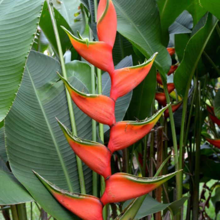 Heliconia Claw 2  ] 184338 - Flower Power
