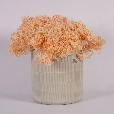 Dried Hydrangea Medium Champagne  ] 187998 - Flower Power