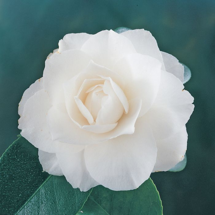 Camellia Pope John Paul Advanced Espalier  ] 190074P - Flower Power
