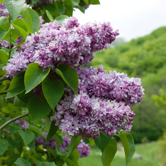 Syringa Vulgaris Katherine Havemeyer  ] 1908000250 - Flower Power