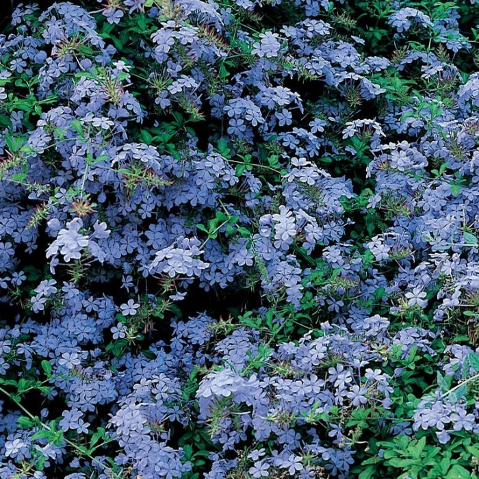 Plumbago Royal Cape  ] 2373800140P - Flower Power
