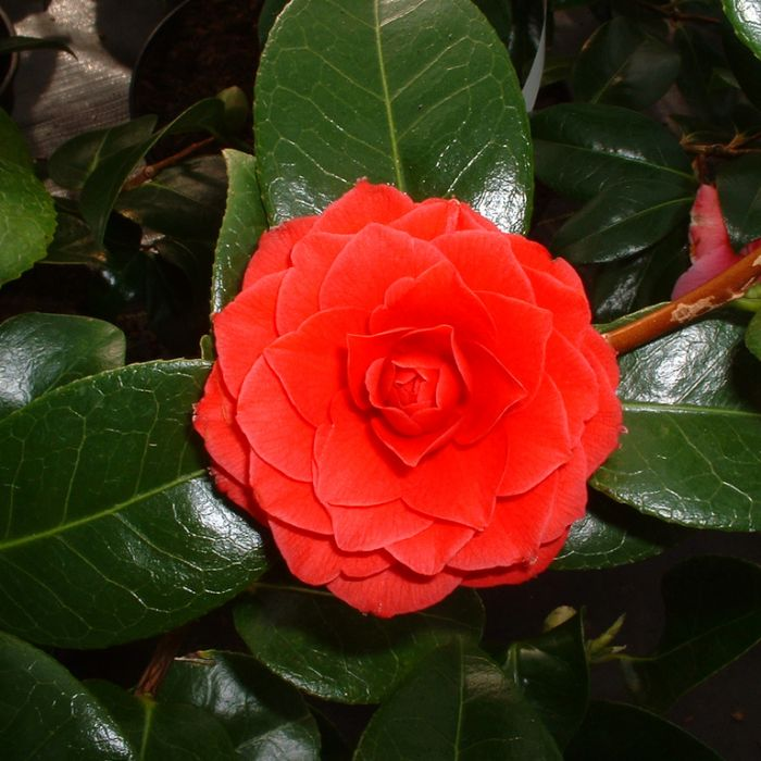 Camellia Hybrid Black Lace  ] 2530200300P - Flower Power
