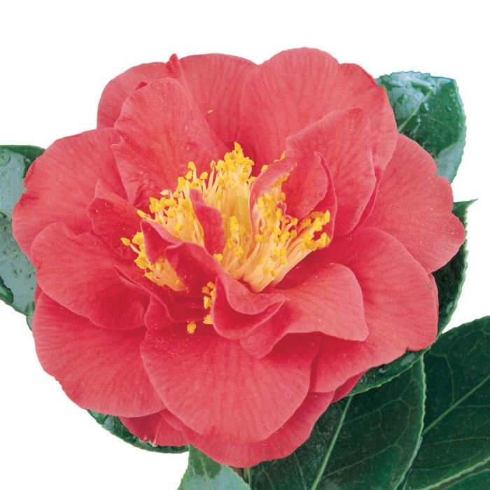 Camellia Japonica Blood of China  ] 2530300200 - Flower Power