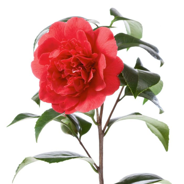 Camellia Japonica 'Kramer's Supreme'  ] 2533300190P - Flower Power