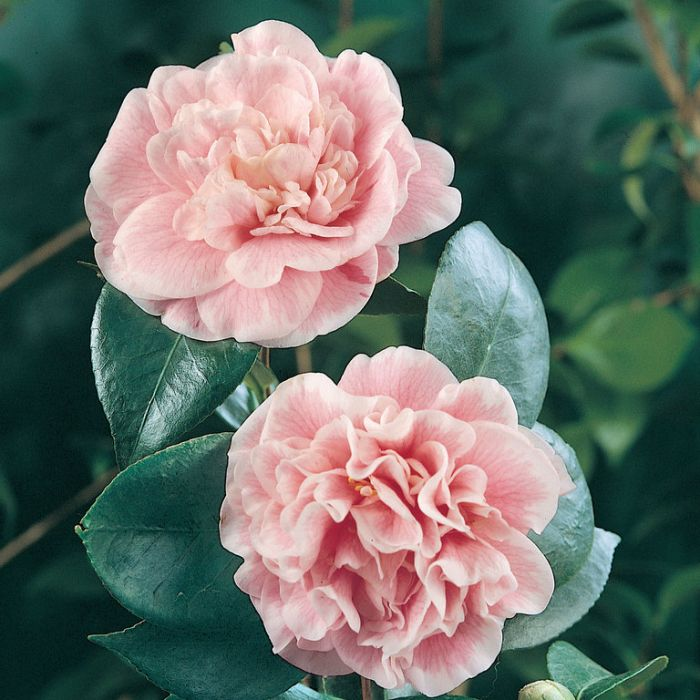 Camellia Japonica Lady Loch  ] 2533500200 - Flower Power
