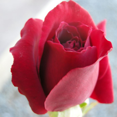 Mr Lincoln Rose  ] 2714700200P - Flower Power