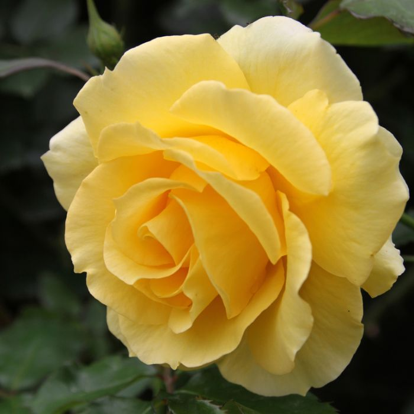 Gold Bunny Rose  ] 2774200200P - Flower Power