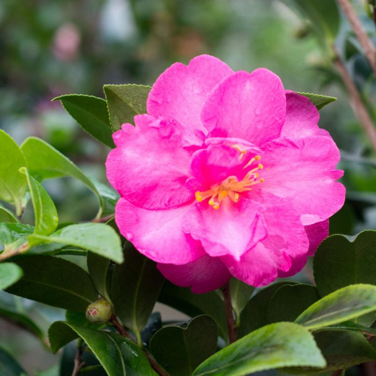 Camellia Sasanqua Hiryu  ] 2777500190P - Flower Power