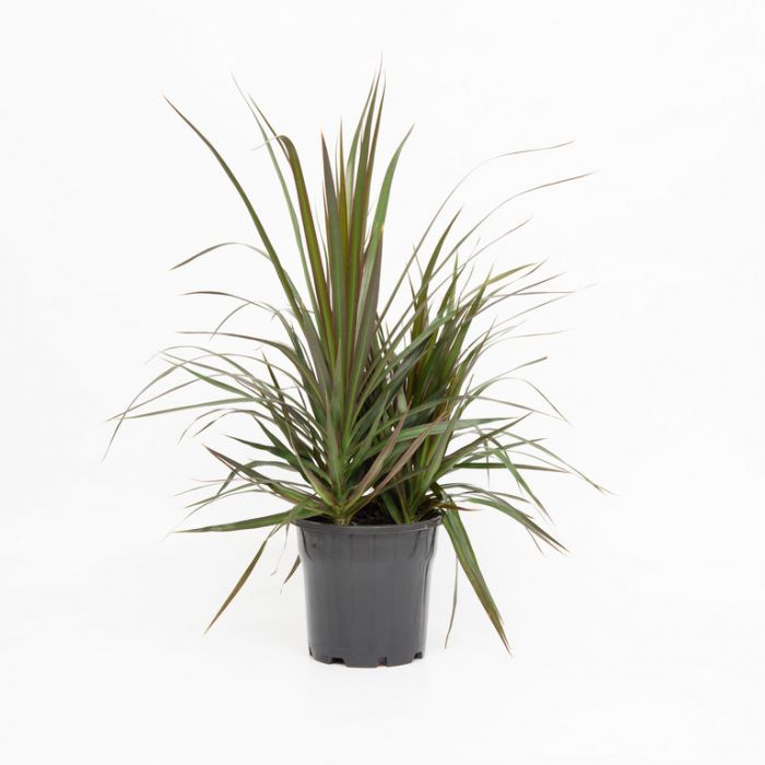 Dracaena 'Black Knight'  ] 2972700200P - Flower Power