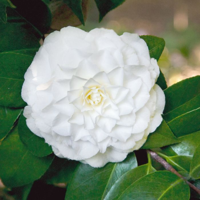 Camellia Japonica Margaret Hertrich  ] 3177800200P - Flower Power
