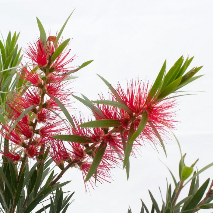 Bottlebrush 'Wildfire'  ] 3420000200 - Flower Power