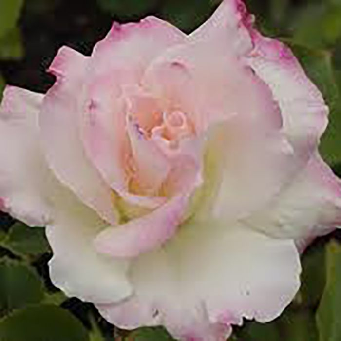 Seduction PBR Rose  ] 3628100200P - Flower Power