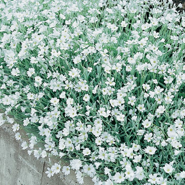 Cerastium  ] 3710000140 - Flower Power