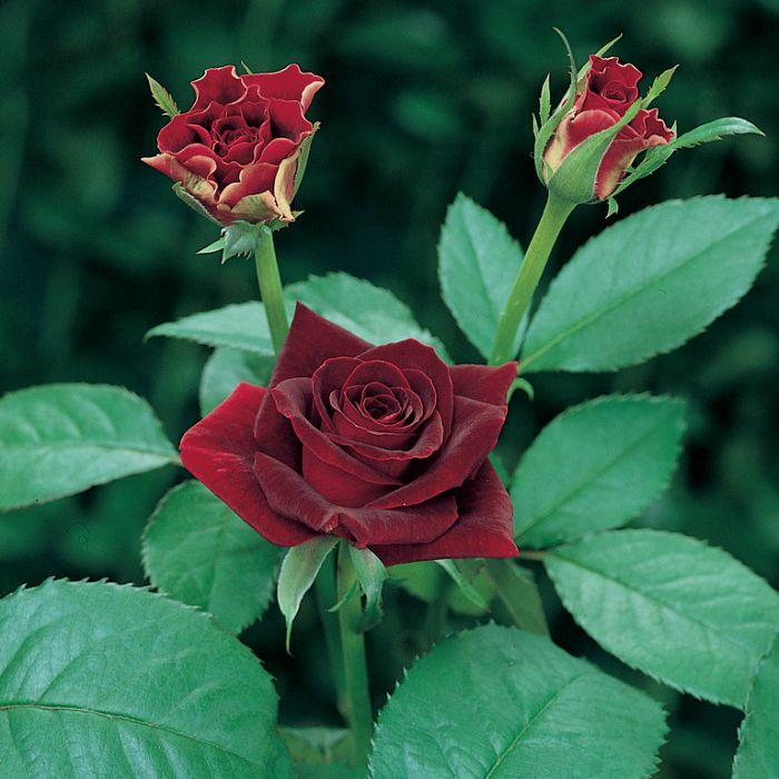 Black Beauty Rose  ] 3716300200 - Flower Power
