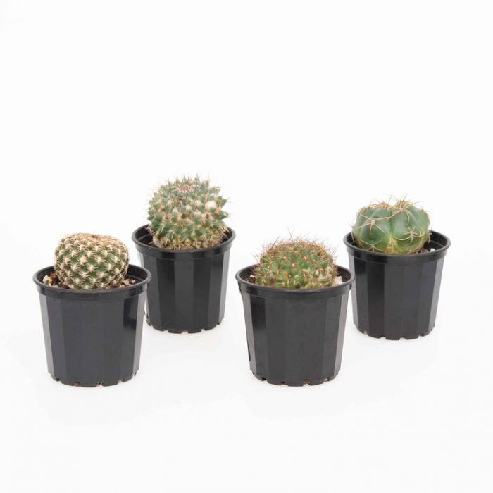 Cactus Assorted  ] 4291700070 - Flower Power