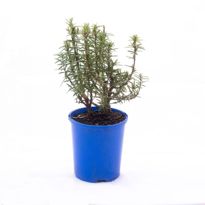 Rosemary Tuscan Blue  ] 4565000140P - Flower Power