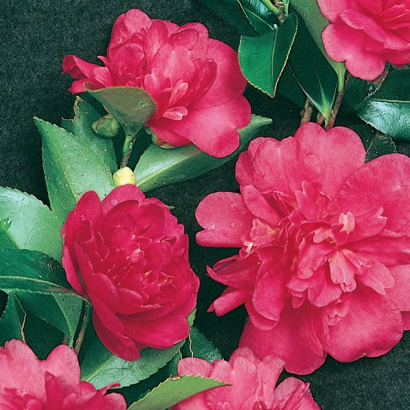 Camellia Sasanqua Paradise Caroline  ] 4694400190P - Flower Power