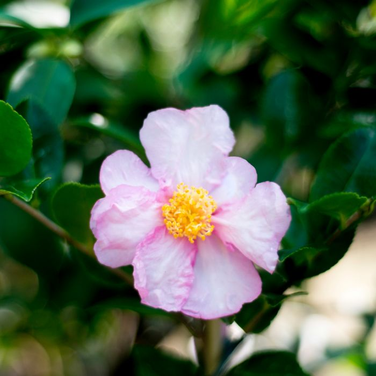 Camellia Sasanqua Paradise Diana  ] 4694500190P - Flower Power