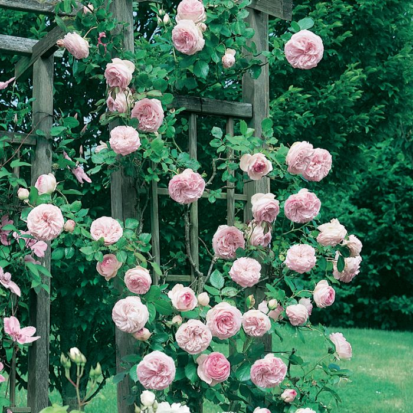 Pierre De Ronsard PBR Rose  ] 4778900200 - Flower Power