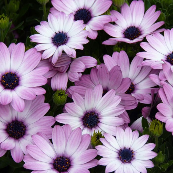 Osteospermum Passion Mix  ] 4833200125 - Flower Power