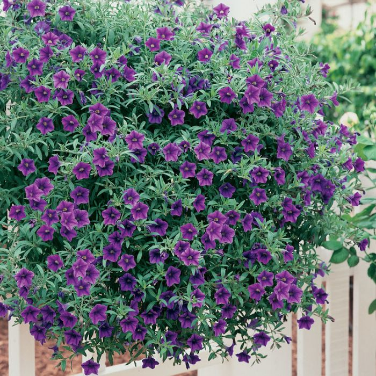 Petunia Million Bells Trailing Blue  ] 4975800020 - Flower Power
