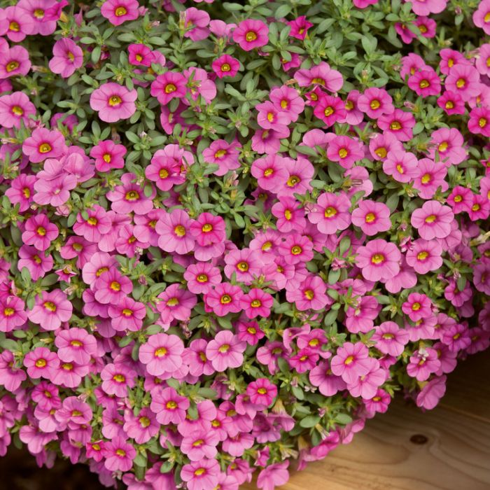 Petunia Million Bells Trailing Pink  ] 4975900140 - Flower Power
