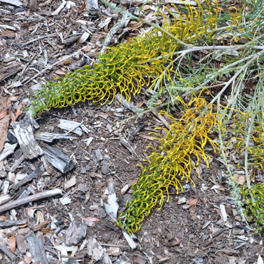 Grevillea Golden Lyre  ] 5447900200 - Flower Power