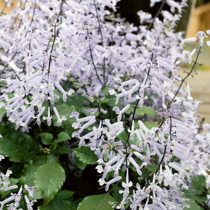 Plectranthus Hanging Basket  ] 605870 - Flower Power