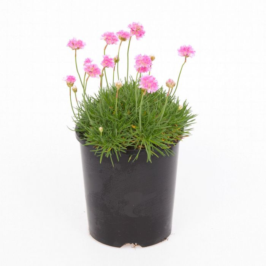 Armeria Maritima Pink  ] 6757500140 - Flower Power