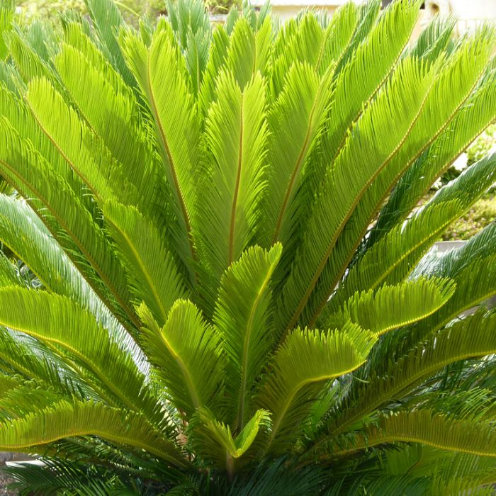 Sago Cycad  ] 683405821724P - Flower Power